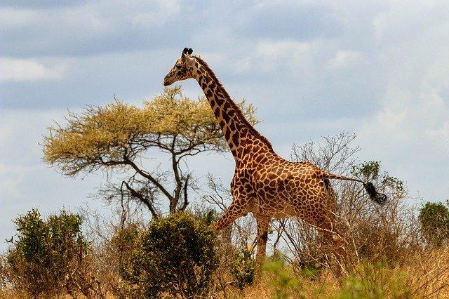 giraffe-4041985_640